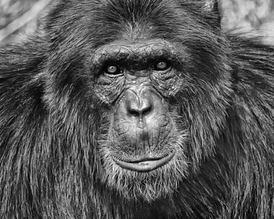 Photograph - Chimpanzee Portrait 1 by Richard Matthews
