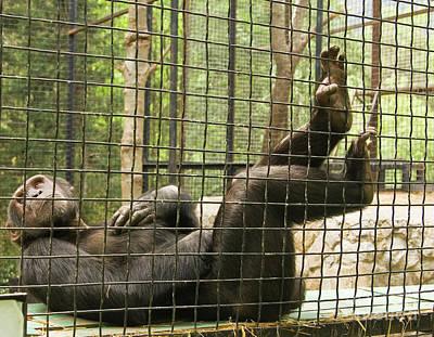 Photograph - Chimpanzee Resting by Irina Afonskaya