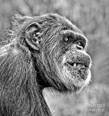 Photograph - Chimpanzee With A Treat In His Mouth Black And White Version by Jim Fitzpatrick