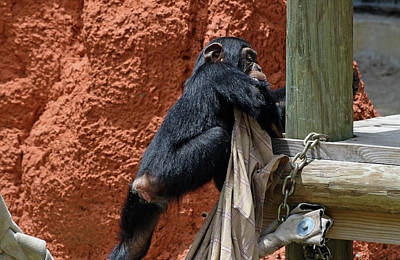 Photograph - Chimpanzee With Her Blanket by Larah McElroy