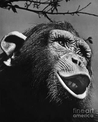 Photograph - Chimpanzee by Ylla