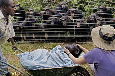 And Threatened Animals Photograph - Chimpanzees Look On In Grief by Monica Szczupider/National Geographic My Shot