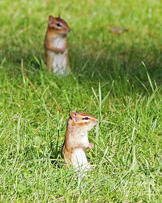 Photograph - Chimpmunks Looking by Lloyd Alexander
