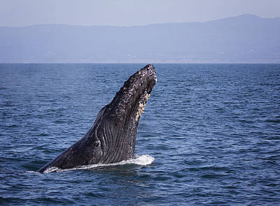 Photograph - Chin Slapping Humpback by Deana Glenz