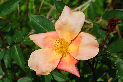 Photograph - China Rose 1 by Kathryn Meyer