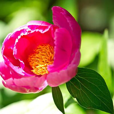 China Rose Art Print by Edward Myers