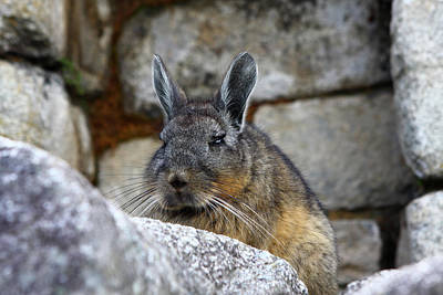 Photograph - Chinchilla by Aidan Moran