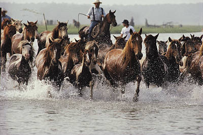 Man And Nature Photograph - Chincoteague Cowboys Drive Their Wild by Medford Taylor