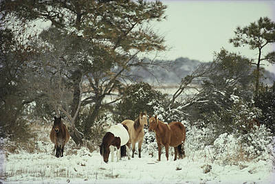 Natural Forces Photograph - Chincoteague Ponies Forage For Food by Medford Taylor