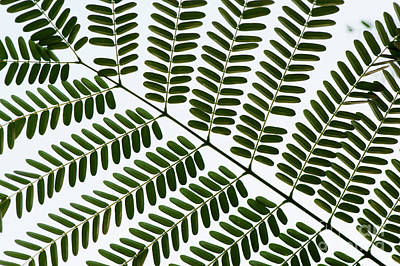 Photograph - Chinese Albizia Leaf Pattern by Tim Gainey