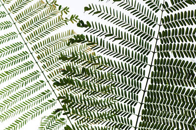 Photograph - Chinese Albizia Leaves by Tim Gainey