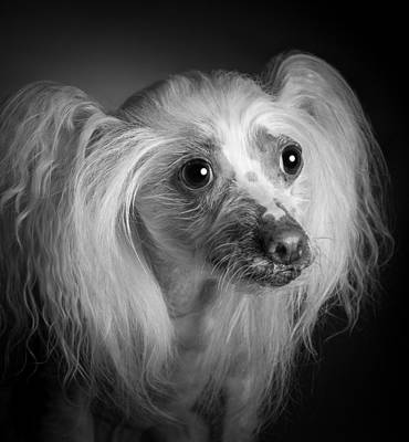 Photograph - Chinese Crested - 04 by Larry Carr