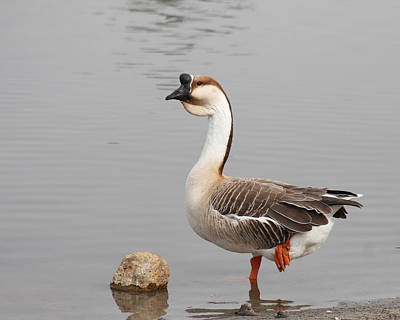 Bob Wade Photograph - Chinese Goose by Bob and Jan Shriner