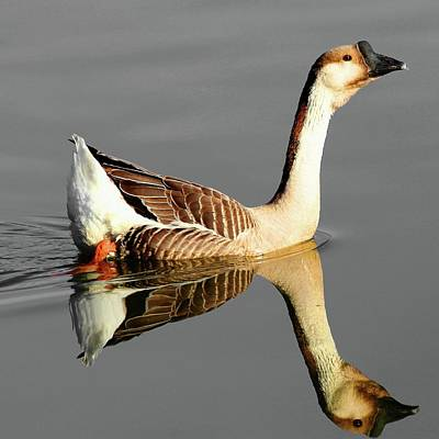 Photograph - Chinese Goose by Carol Montoya