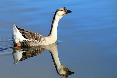 Photograph - Chinese Goose In Blue Waters by Carol Montoya