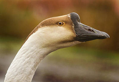 Photograph - Chinese Goose by Jean Noren