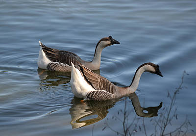 Photograph - Chinese Gray Geese by rd Erickson