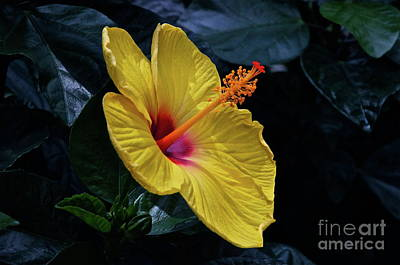 Photograph - Chinese Hibiscus by Byron Varvarigos