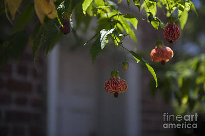 Photograph - Chinese Lantern by Dale Powell
