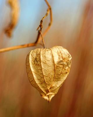 Photograph - Ground Cherry by Jeanette Fellows