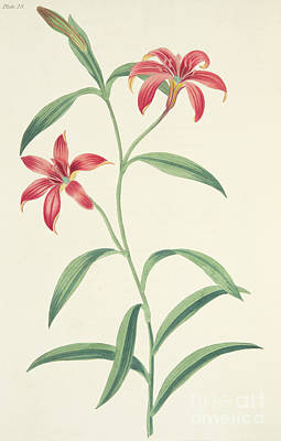 Colorful Drawing - Chinese Lily by Margaret Roscoe