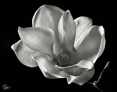 Print featuring the photograph Chinese Magnolia by Endre Balogh