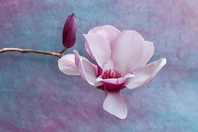 Photograph - Chinese Magnolia Flower With Bud by Debi Dalio