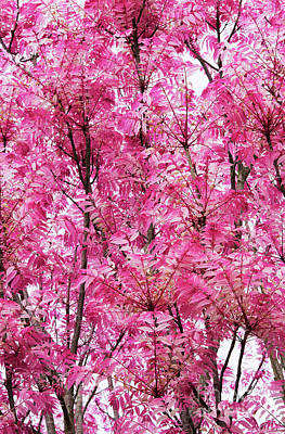 Photograph - Chinese Mahogany Flamingo Tree Leaves In Spring by Tim Gainey