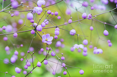 Photograph - Chinese Meadow Rue Flowers Opening by Tim Gainey