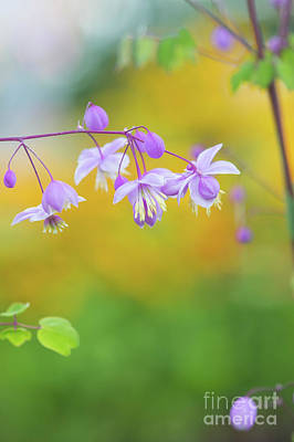 Photograph - Chinese Meadow Rue by Tim Gainey