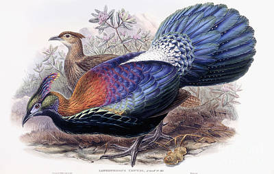 Pheasant Wall Art - Painting - Chinese Monal, Pheasant by English School