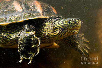 Escapees Photograph - Chinese Pond Turtle by B.G. Thomson