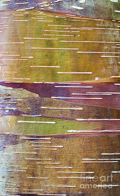 Photograph - Chinese Red Bark Birch by Tim Gainey