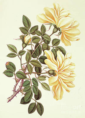 Of Nature Painting - Chinese Rose by Georg Dionysius Ehret