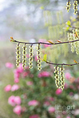 Photograph - Chinese Stachyurus Celina by Tim Gainey
