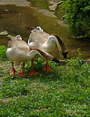 Photograph - Chinese Swan Geese by Sara Raber