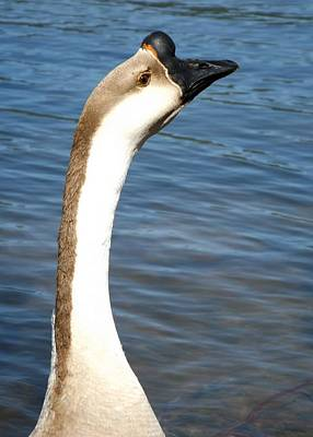 Photograph - Chinese Swan Goose Portrait by Sara Raber