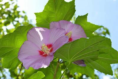 Rose Of Sharon Tree Photograph - Chinese Tree Mallow by Linda Covino