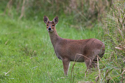 Photograph - Chinese Water Deer by Wendy Cooper