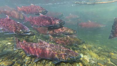 Chinook And Chum Salmon Art Print by Tim Grams