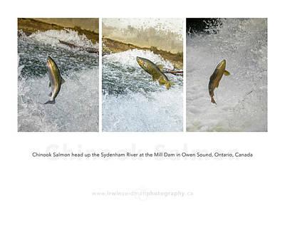 Photograph - Chinook Salmon  by Irwin Seidman