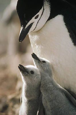 Three Chicks Photograph - Chinstrap Penguin Pygoscelis Antarctica by Tui De Roy