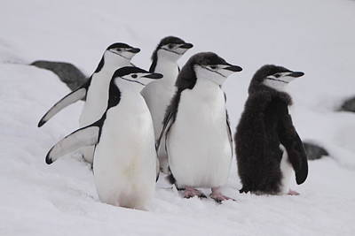 Photograph - Chinstrap Penguins by Bruce J Robinson