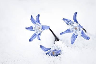 Photograph - Chionodoxa - Glory Of The Snow by  Onyonet  Photo Studios