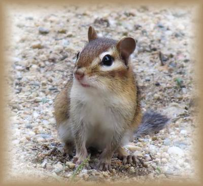 Photograph - Chip - Chipmunk by MTBobbins Photography