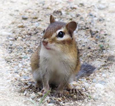 Photograph - Chip Close Up - Chipmunk by MTBobbins Photography