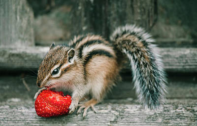 Chipmunk Photograph - Chipmunk And Strawberry by Oksana Ariskina