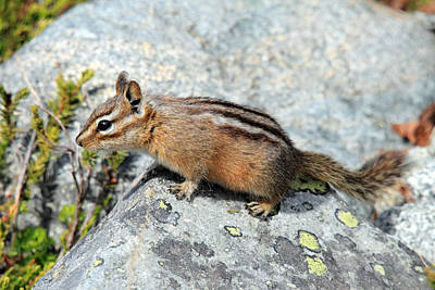 Photograph - Chipmunk At Joffre Lakes Provincial Park B.c Canada by Pierre Leclerc Photography