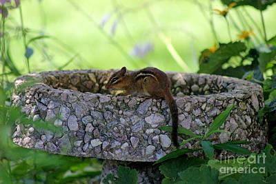 Photograph - Chipmunk Bath by Karen Adams