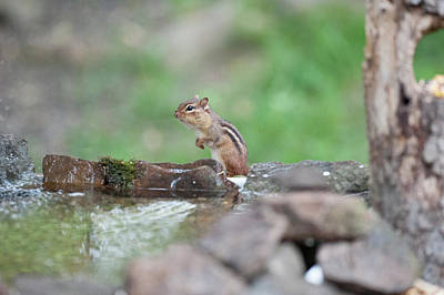Photograph - Chipmunk By The Water by Dan Friend